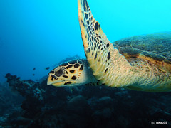 Hawkbill turtle - Maldives