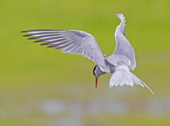 Tern about, please. (Andrew Haynes Wildlife Images ( away for a while )) Tags: bird nature wings wildlife coventry tern warwickshire hover brandonmarsh canon7d ajh2008