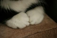 Patinhas  (Bruna Lacrout ) Tags: white black macro branco cat preto gato patas gata persa ori fofura 200mm patinhas plos morgana sonya230 persaextico orichan