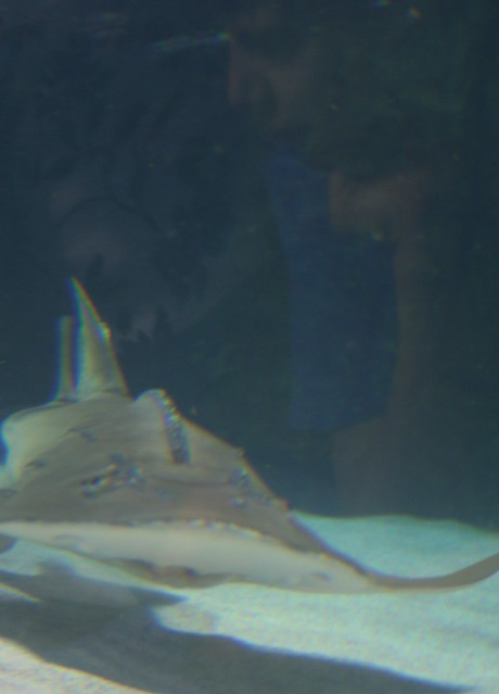 Newport Aquarium: ray shark; Maya's reflection