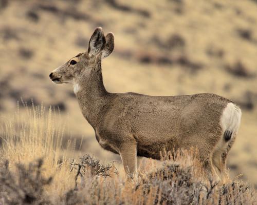 8x10 Mule Deer IMG_0422 -1