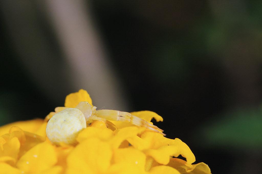 三突花蛛 Misumenops tricuspidatus