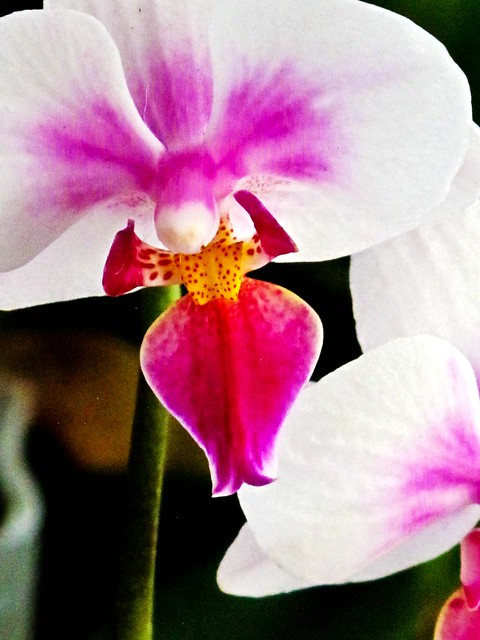 IMG_0657 Orchid ,胡姬花