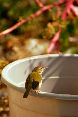 hongkong (vince42) Tags: china bird hongkong bucket asia asien banana tropic banane vogel lamma lammaisland eimer vince42