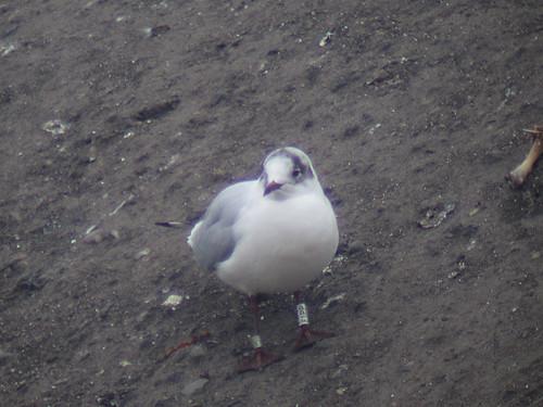 Black-Headed Gull - WHITE [E1PP] / black