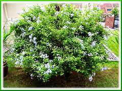 Plumbago auriculata (Blue/Cape Plumbago) growing at a relative's garden in Subang Jaya