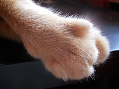 Paws on my desk 2 (*Gitpix*) Tags: pet macro cute animal cat tiere paw furry nikon kitten feline gatos claw lucky coolpix gata felines animales katze paws makro gatto haustier kater claws tier pfoten krallen tatzen