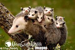 Virginia Opossum Didelphis virginiana (Stan Tekiela's Nature Smart Wildlife Images) Tags: family flowers usa mammal spring unitedstatesofamerica stockimages vertebrates mamalia stantekiela youngonback virginiaopossumdidelphisvirginiana naturesmartwildlifewordsandimages mothernandyoung
