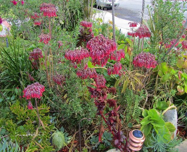 Crazy Kalanchoe blooms
