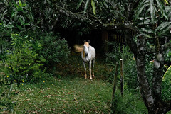(leo.eloy) Tags: horse green nature field animal brasil digital photography natureza manga campo cavalo whitehorse intimacy 2010 atibaia intimidade cavalobranco sito leoeloy