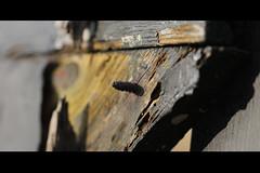 Screw. (Dikke Biggie.) Tags: wood black macro fence screw fenced zwart hout blackwood schutting schroef heining canoneos450d landgoedtewerve zwarthout