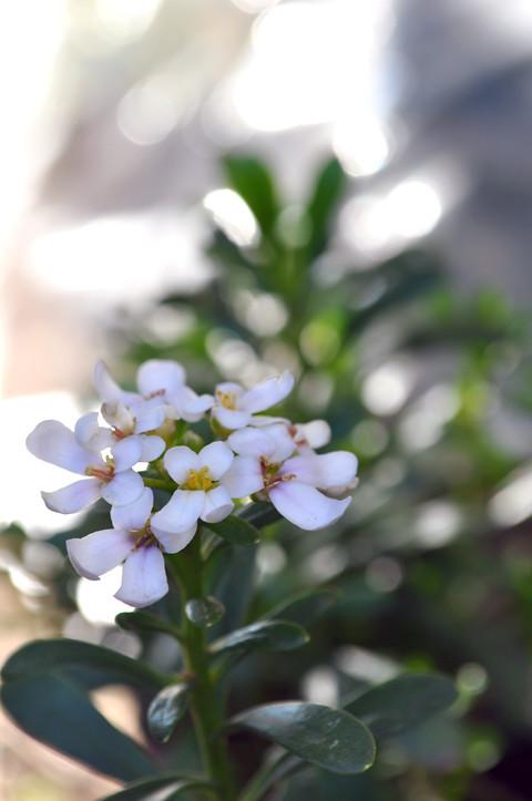 bianco primavera