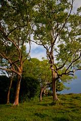 Crazy Branches (Shutters Open) Tags: trees hawaii maui roadtohana rainbowtree