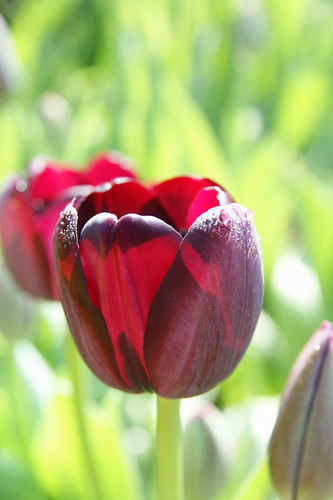 Tulip with dew on it 還掛著晨露的鬱金香