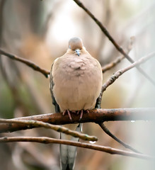 Waiting for Love (wisely-chosen) Tags: wild bird rain branches perched mourningdove february cameraraw 2011 canonef70300mmf456isusmlens adobephotoshopcs5extended
