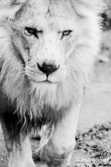 PWP: Lion (--CWH--) Tags: africa cat maine lion pride bigcat endangered lioness d90 paradisewildlifepark chrishumphries