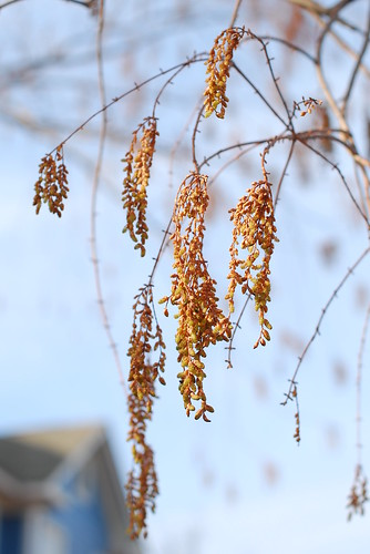 Dawn Redwood in Winter :: A Living Fossil