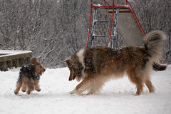 playing in the snow (sveppigum) Tags: snow playing canon fun iceland 70200 snjr leikur snjkoma