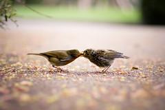 [フリー画像] 動物, 鳥類, ヒタキ科, ヨーロッパコマドリ・ロビン, 雛・ヒナ, 家族・親子(動物), 201103091700