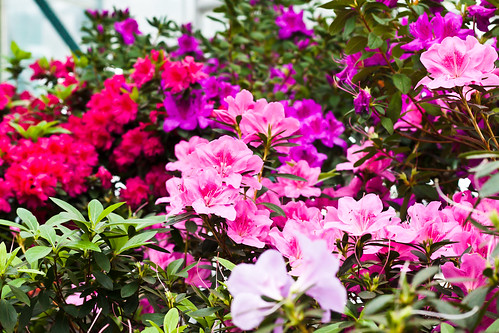 Red, pink and white azaleas