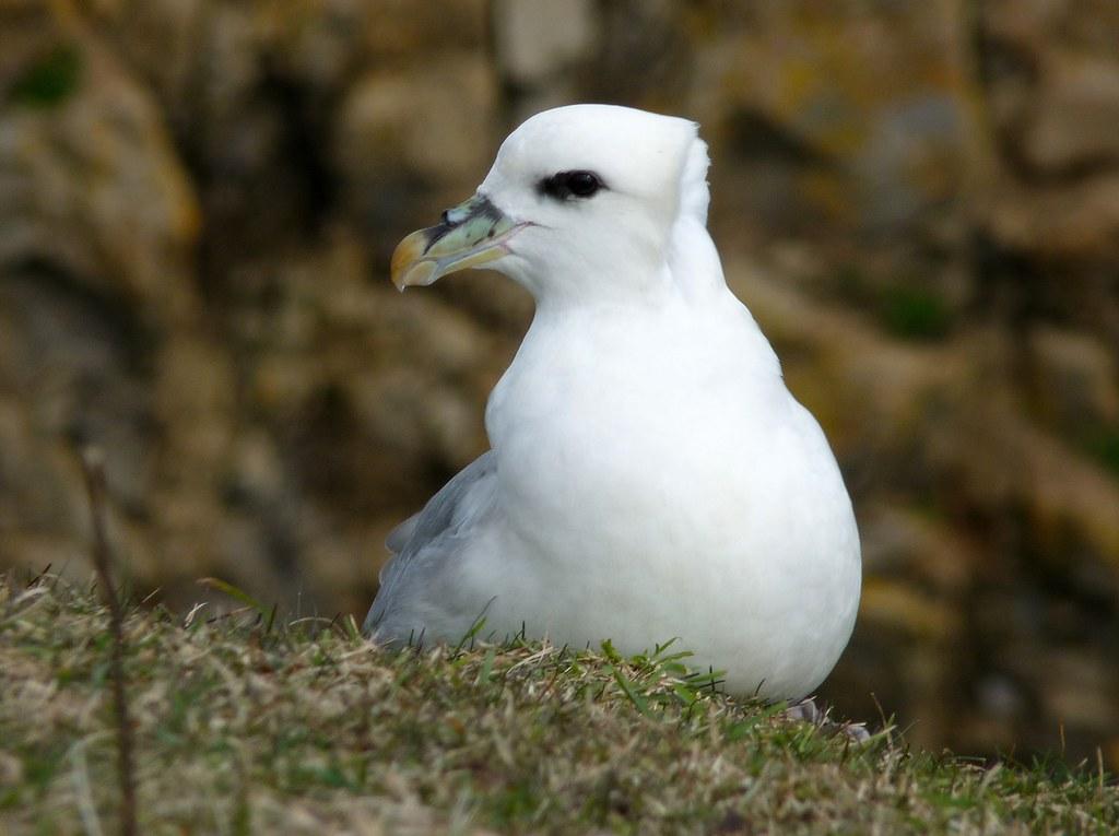 23988 - Fulmar, Stackpole Head, Pembrokeshire