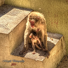 Monkeys in Rome - HDR - Biopark - (Margall photography) Tags: rome roma love canon photography zoo monkey sigma marco 18200 hdr 30d galletto margall bioparco mother´slove