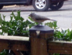 Tufted titmouse in Falls Church