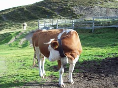 (Ari-Jane Nane) Tags: alps animal kuh cow
