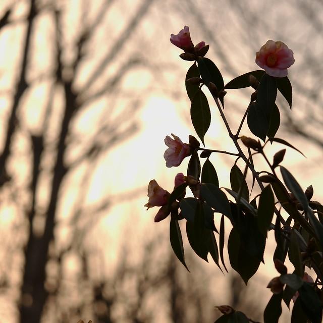 Camellia in sunset