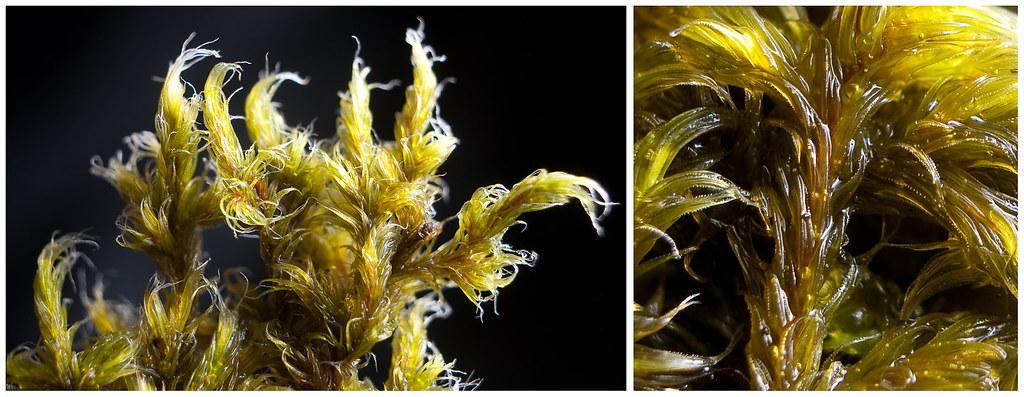Racomitrium lanuginosum (Grimmiaceae)