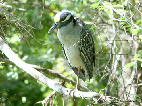 Yellow-crowned Night-Heron 20110313