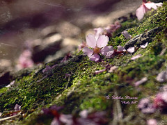 First Fallen Blossom (Ekler) Tags: new flower tree art nature vintage cherry sadness photo moss spring flora sad blossom earth first ground fresh fallen bloom romantic sorrow sacura svetlanasoohastowers