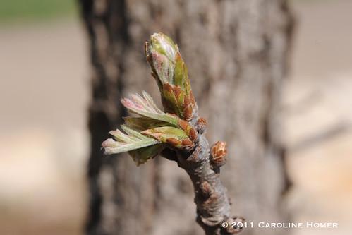 Burr oak leaflet