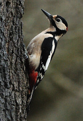 Woodpecker. (stonefaction) Tags: nature birds forest scotland woodpecker angus wildlife great spotted montreathmont