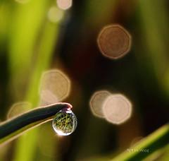 Sunny drops (Robyn Hooz) Tags: morning italy grass sunshine canon eos italia drop erba dew refraction balance rugiada padova sule goccia equilibrio rifrazione ef1740l 550d abigfave