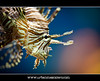 Lionfish (Pterois volitans) (UrbanMescalero) Tags: fish nature closeup denmark lionfish danmark tropicalfish pteroisvolitans randers 2011 randersregnskov randerstropicalzoo canoneos5dmarkii canonef70200lf28isusm doublyniceshot mygearandme mygearandmepremium mygearandmebronze mygearandmesilver mygearandmegold mygearandmeplatinum wwwurbanmescalerocom gorankljutic aboveandbeyondlevel1 aboveandbeyondlevel2