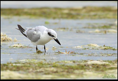 Gull-billed Tern (Rey Sta. Ana) Tags: birds philippines cebu olango reystaana