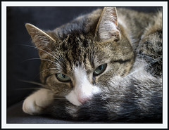 On the couch (Jan Gee) Tags: pet cats cat grey kat feline chat tabby kitty gato gata katze gatto poes poeka