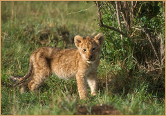 The cutest killer of the Mara.. (Joost N.) Tags: africa wild camp baby sun sunlight holiday cute cub bush nikon kenya african wildlife small lion young safari lions afrika traveling nikkor predator youngster joost lioness kenia safaris welpje matira welp d700 notten