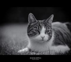 Bélus (Kovács Krisztián Short) Tags: cat gato m42 f2 58mm helios selenium 582 kovács krisztián bélus