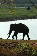 wild and tame elephants (LaylaLee) Tags: park india national gandhi karnataka rajiv