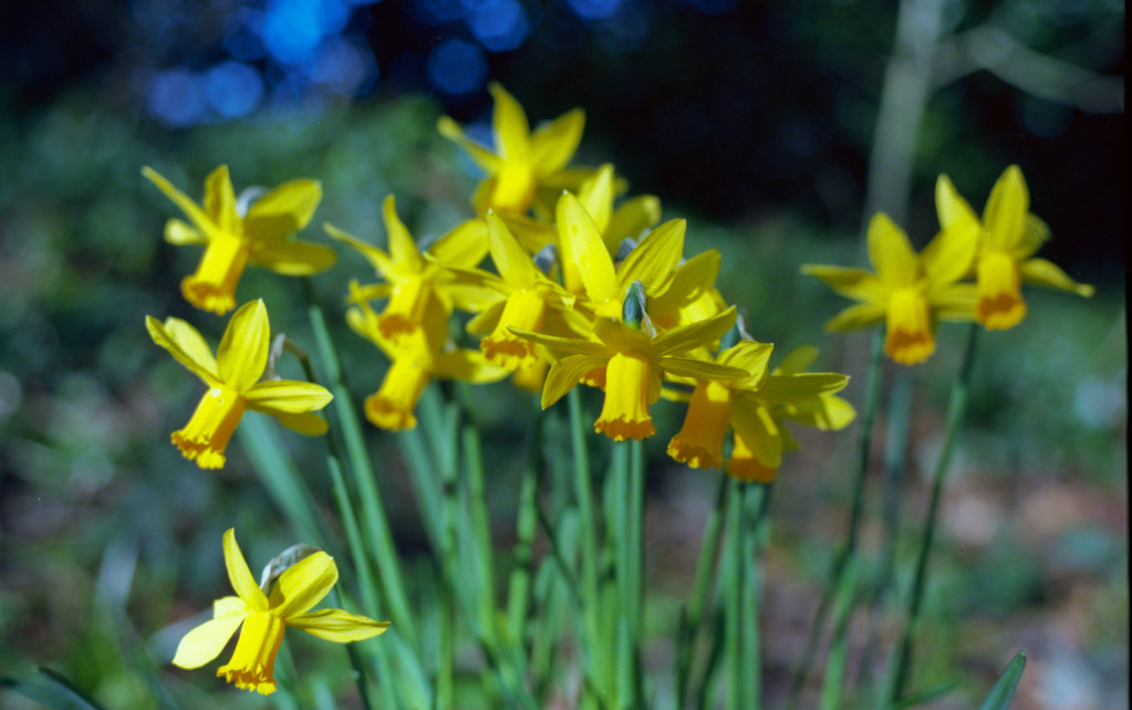 Daffodils (in case you were wondering)