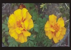 Cravo de defunto natural (Roseli Magri) Tags: de plantas fotos e naturais flôres artificiais flôresnaturais flôresartificiais flôreseplantas