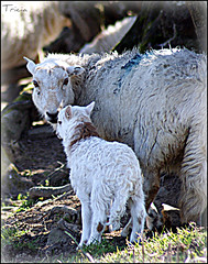 Spring lamb (Patricia Speck) Tags: uk light shadow two baby mountain feet wool grass wales foot eyes sheep tail mother ears curly lamb tricia hillside patricia offspring springtime speck ewe springlamb mountainsheep ooats sunslught