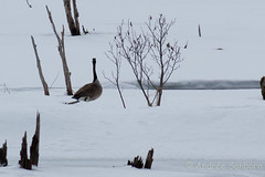 Finding a Mate (Dueling Canadian geese) (15 of 27).jpg (Andre Reno Sanborn) Tags: brantacanadensis canadageese
