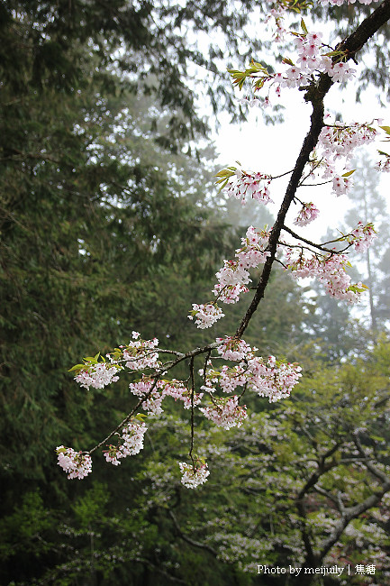 阿里山櫻花季陰天版21