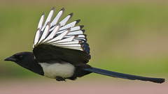 European Magpie (pica pica) - Explore front page (PeterQQ2009) Tags: holland birds picapica