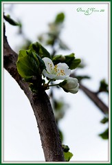 plum blossem in my backyard (Donna Da Yettta - @work & study) Tags: life new wood food white flower tree green leave leaves yellow fruit garden spring backyard groen branch peace vrede plum boom blad bud tuin lente geel wit bloesem tak eten hout leven bloem nieuw blossem knop bladeren pruim pruimen stamper vrucht fruitboom meeldraden bokhey