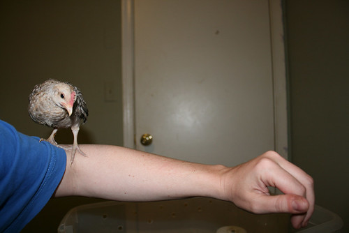 A tiny white chicken with soft brown stripes across his breast peers at the camera from his perch on my elbow.  Do you have any clue how hard it is to get a pic of a chicken that is on your elbow?  Anyway, he is tiny -- his body is smaller than my fist.