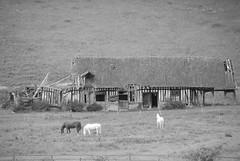 en normandie (pontfire) Tags: horses horse france animal animals landscape caballo cheval paisaje normandie paysage animaux landschaft normandy cavallo cavalo pferd 風景 paesaggio chevaux eure 馬 лошадь пейзаж